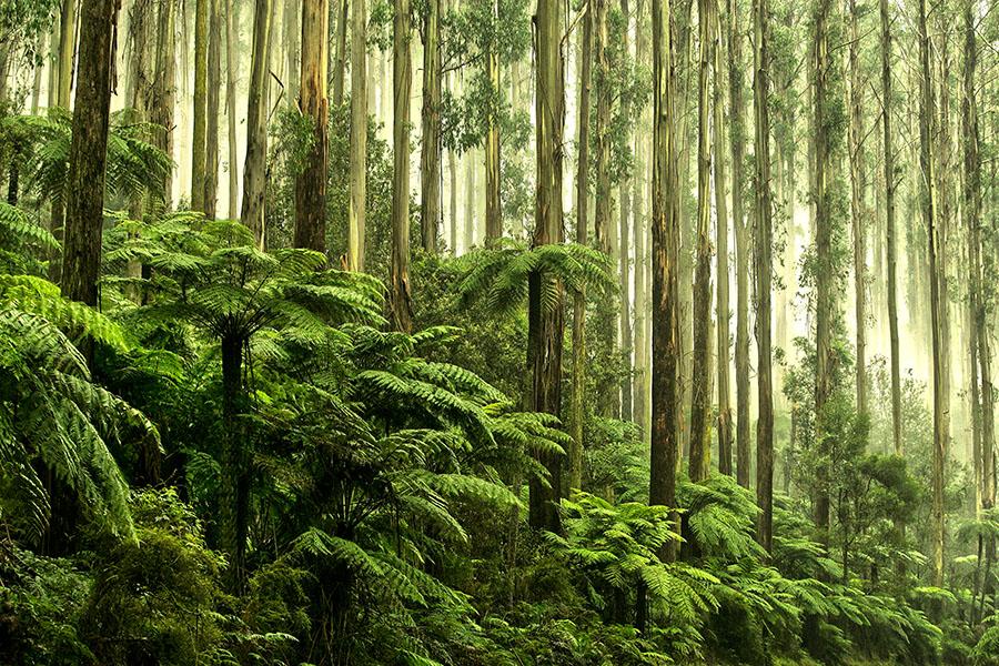 Tree Ferns in Black Spur Drive, Healesville, Victoria