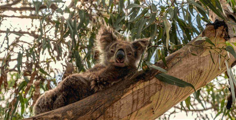 Kennett River wild koala, Australia