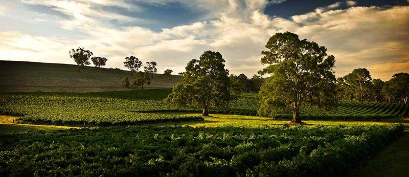 Annies Lane Vineyard Trees @annieslane