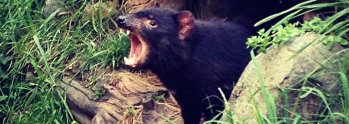 Tasmanian Devil Unzoo, Taranna TAS 7180, Australia @urjil