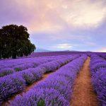 Lavender Farm, Australia @Lap of Tasmania