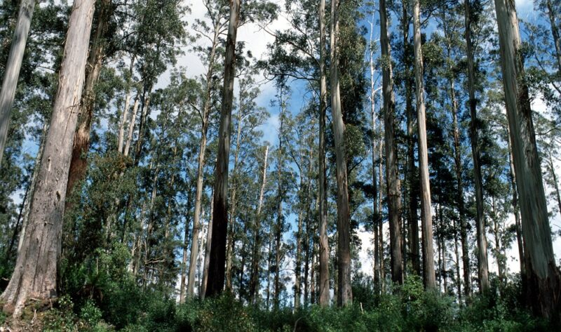 Mountain Ash forests, Australia @Wikimedia Commons