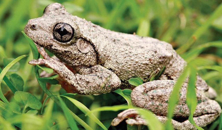 Peron's tree frog,Australia