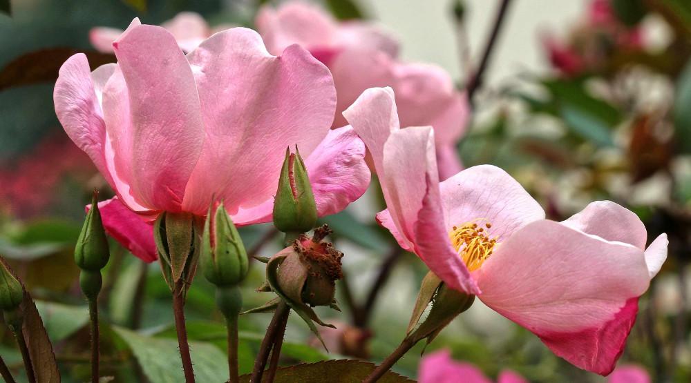 Rosa Chinensis Mutabilis,Australia