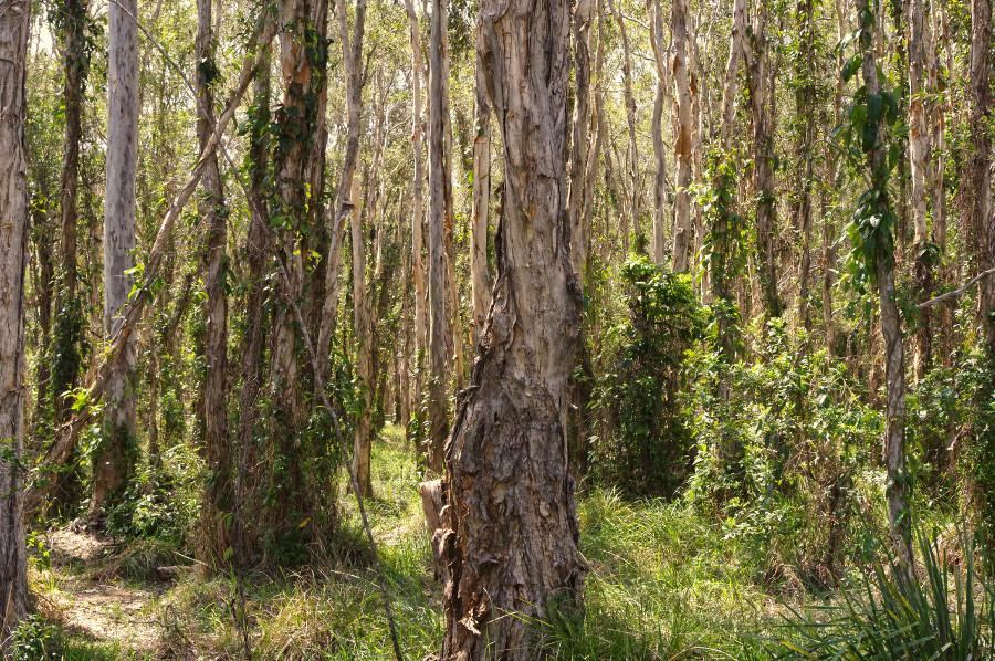 Melaleuca trees at Boondall Wetlands,Queensland,Australia
